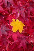 A yellow Norway Maple leaf (Acer platanoides) is caught in the branches of a Japanese Maple (Acer palmatum) in Belmont, Massachusetts.