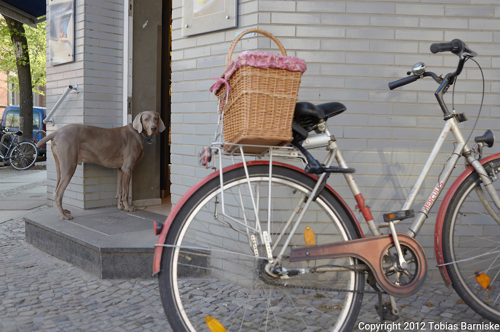 Weimaraner dog waiting in front of a delicatessen store in Berlin Charlottenburg.