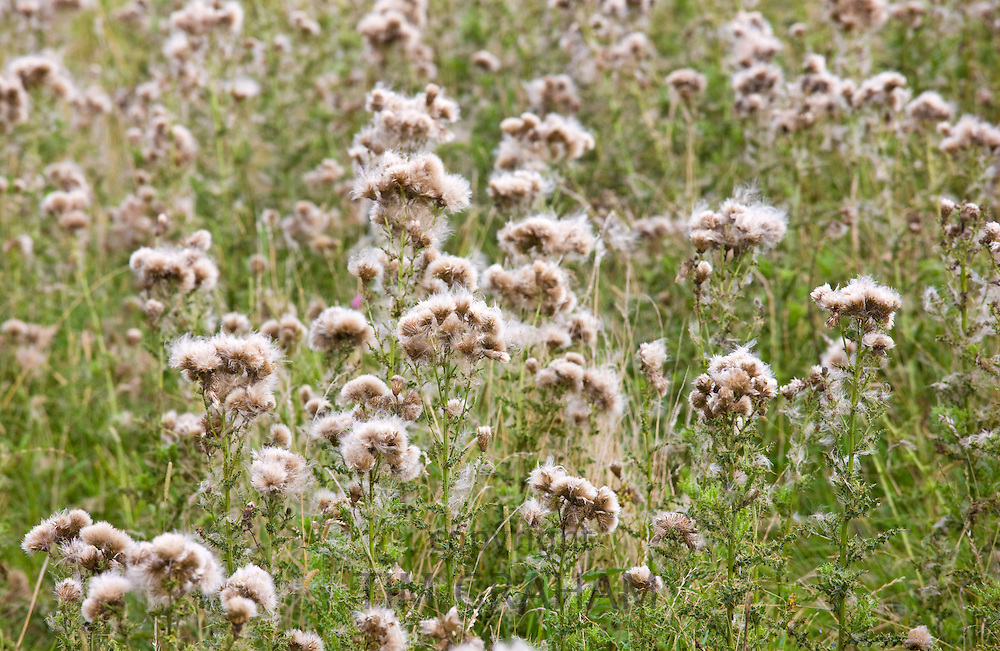 Thistle seeds spreading by wind dispersal in a field in The Cotswolds, Gloucestershire, England, UK