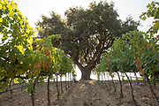 Large tree in a vineyard, Sicily, Italy.