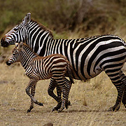 Burchell's Zebra, (Equus burchelli) Mother and baby running. Masai Mara Game Reserve. Kenya. Africa.