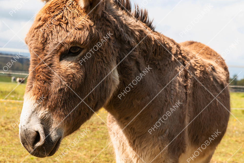 Donkey portrait on a farm in the Jura Canton in Swiss Alps. Green field and mountains in background. Nobody inside