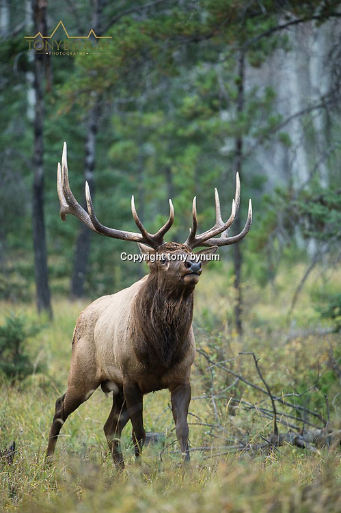 bull elk in sparce timber