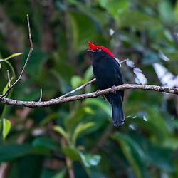 Soldadinho (Antilophia galeata) fotografado no Parque Nacional da Chapada dos Veadeiros - Goiás. Bioma Cerrado. Registro feito em 2015.<br /> ⠀<br /> ⠀<br /> <br /> <br /> <br /> <br /> <br /> ENGLISH: Helmeted Manakin photographed in Chapada dos Veadeiros National Park - Goias. Cerrado Biome. Picture made in 2015.