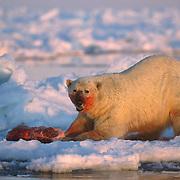 An adult polar bear (Ursus maritimus) feeding on a baby walrus carcass. Nunavut Territory, Canada