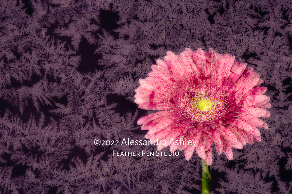 Winter composite of frozen ice crystals and deep pink Gerbera daisy. Finalist in North American Nature Photography Association (NANPA) 2016 Showcase competition, Altered Reality category.