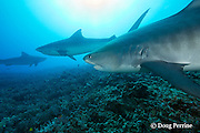 tiger sharks, Galeocerdo cuvier, Honokohau, Kona, Big Island, Hawaii, USA ( Central Pacific Ocean ); shark in middle has fishing line leader dangling from mouth