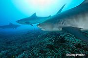 tiger sharks, Galeocerdo cuvier, Honokohau, Kona, Big Island, Hawaii, USA ( Central Pacific Ocean ); shark in middle has fishing line leader dangling from mouth