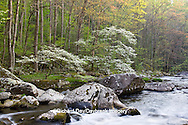 66745-04020 Dogwood trees in spring along Middle Prong Little River, Tremont area, Great Smoky Mountains National Park,TN