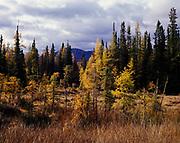 Tamarack and black spruce thermal bog, Liard River Hot Springs Provincial Park, northern British Columbia, Canada.