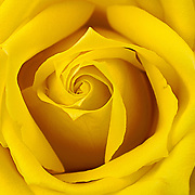 My wife loves yellow roses.  On one occasion, I decided to zoom in on one of the blooms as it was opening.  So many layers and all that symmetry. And yes, I bought the reoses