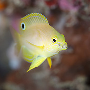 Juvenile Ambon damselfish (Pomacentrus amboinensis) with open mouth. Photographed in Milne Bay, Papua New Guinea