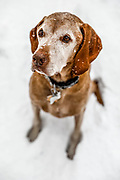 """SHOT 10/1/17 3:55:18 PM - Tanner, a 13 year-old male Vizsla, pauses while hiking with his owner along Buffalo Pass just outside of Steamboat Springs, Co. Originally from Hungary, the Vizsla is a medium-sized, short-coated hunting dog that is essentially Pointer in type, although he combines characteristics of both pointer and retriever. An attractive golden rust in color, this """"dual"""" dog is popular in both the field and the show ring due to his power and drive while hunting and his trainability in the home. (Photo by Marc Piscotty / © 2017)"""
