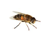 Drone Fly - Eristalis tenax