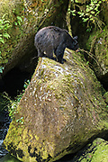 A large American black bear sow watches an intruder bear from a rock outcropping in the temperate rain forest at Anan Creek in the Tongass National Forest, Alaska. Anan Creek is one of the most prolific salmon runs in Alaska and dozens of black and brown bears gather yearly to feast on the spawning salmon.