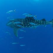Whale shark, Rhincodon typus, with a shoal of rainbow runner (Elagatis bipinnulata), Honda Bay, Palawan, the Philippines, Sulu Sea Whale shark (Rhincodon typus), Honda Bay, Palawan, the Philippines