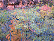 Autumn Oak Tree Grove and Redrock Cliffs, Zion National Park, Utah