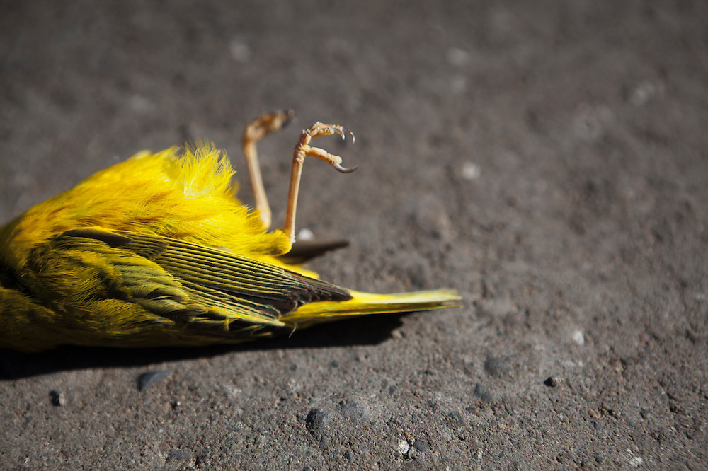 A male yellow warbler (Setophaga petechia) lies dead on the side of a road near Crested Butte, Colorado.