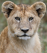 A lion cub (Panthera leo) pauses while playing with its sibling in the long dry grass of the Serengeti. Serengeti National Park, Tanzania.