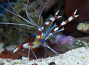 The Banded Coral Shrimp (Stenopus hispidus) is a common sight on nearly every Indo-Pacific ocean reef. Also known as a Coral Banded Shrimp, Banded Boxer Shrimp, Banded Prawn, Barber-Pole Shrimp, or Cleaner Shrimp, it often feeds on the parasites that cooperative fish or eels allow it to pick off their bodies. Stenopus hispidus is a shrimp-like decapod crustacean, belonging to the infraorder Stenopodidea. Although it looks like a shrimp, it is not a true shrimp. It is a few centimetres long and has red bands around its body, and long, white antennae. The body is covered with short defensive spines. Like other decapods they can use the tail to escape backwards rapidly (the caridoid escape reaction). Stenopus hispidus is a common aquarium pet, because it removes dead tissue, algae and parasites from the tank and from larger fish. Seattle Aquarium, Washington, USA.