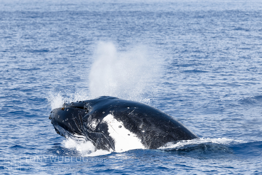 This sequence of 17 images shows a humpback whale (Megaptera novaeangliae australis) executing a forward breach. As the whale emerges from the ocean, water streams off the animal's body, as well as from the sides of the whale's mouth. The whale exhales with great force as it surfaces, creating a cloud of water vapor, then inhales through open nostrils before plunging back into the water. The entire sequence spans just over one second of time. Image 16 of 17.