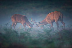 © London News Pictures. 06/10/2013. Richmond, London, UK.  Two deer stags lock horns while rutting in early morning mist in Richmond Park, West London. The UK is experiencing an unusually warm start to the Autumn with temperatures reaching 20 degrees in parts.  Photo credit: Ben Cawthra/LNP