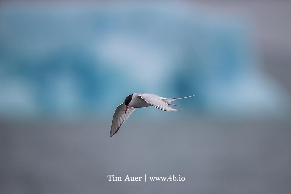 Arctic Tern with Iceberg