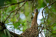 Bare-throated Tiger-Heron (Tigrisoma mexicanum) fledgling In the nest. Photographed in Costa Rica in June