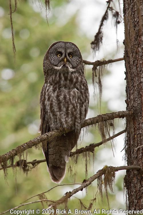 Blue Mountains of Oregon, a Great Grey Owl (Strix nebulosa),