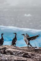 Antarctic Cormorants on Petermann Island, Antarctica.