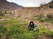 Sabrina, a Wakhi woman, picks turnip in her father's garden - she lives and study in Islamabad the rest of the year.