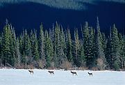 Elk  or wapiti (Cervus canadensis)  <br />Banff National Park<br />Alberta<br />Canada