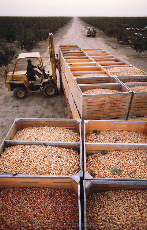 Boxes of freshly harvested pistachios being loaded onto a truck-trailer prior to delivery to the production plant where they will be dried and packaged. Kern County, California. USA.