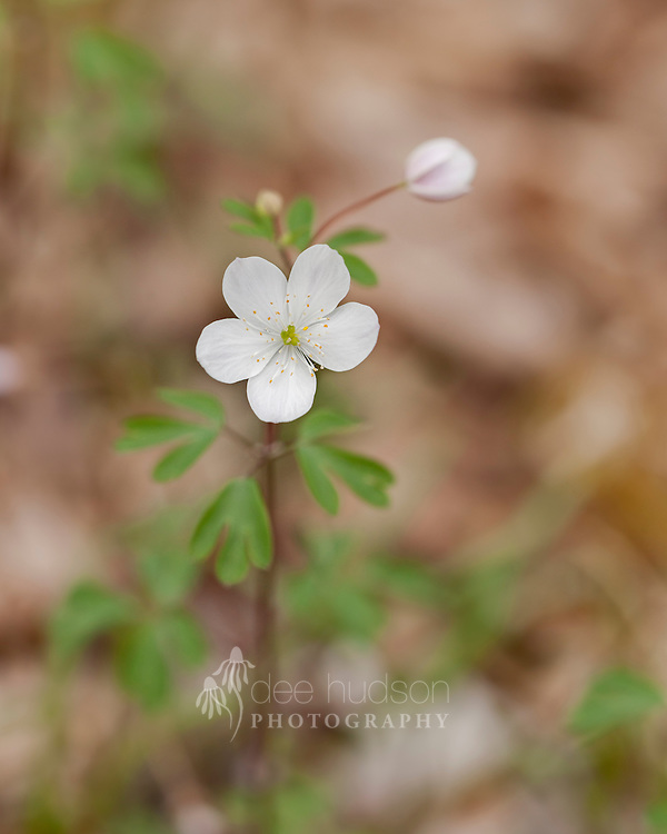 This lovely Illinois wildflower brightens the woodland floor in springtime, with its delicate bloom resting on the top of a slender stem.<br /> <br /> False Rue Anemone (Enemion biternatum)