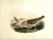 The pale rockfinch or pale rock sparrow (Carpospiza brachydactyla [Here as Petronia brachydactyla]) is a small sparrow found in the Middle East and Central Asia. From the survey of western Palestine. The fauna and flora of Palestine by Tristram, H. B. (Henry Baker), 1822-1906 Published by The Committee of the Palestine Exploration Fund, London, 1884
