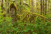 Coastal rain forest on Golden Spruce Trail. PortClements. Graham Island. , Haida Gwaii (formerly the Queen Charlotte Islands), British Columbia, Canada