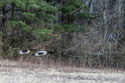 Canadian Geese (Branta canadensis) in flight