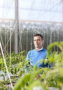 Italia, Toscana, Gavorrano, SFERA , l'azienda agricola a coltivazione idroponica più grande del sud Europa. Sfera is the largest hydroponic farm in southern Europe, focused on cooultivation of tomatoes and several kind of salads , including basel. Luigi Galimmberti, founder of Sfera
