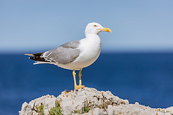 THEMENBILD - eine Möwe (Laridae) steht auf einem weißen Felsen, aufgenommen am 27. Juni 2018 in Pula, Kroatien // a seagull stands on a white rock, Pula, Croatia on 2018/06/27. EXPA Pictures © 2018, PhotoCredit: EXPA/ Stefanie Oberhauser
