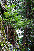 Golzern, Switzerland - ferns growing out of a steep rockface.
