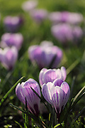 Spring crocuses in Parsons Green, London. Each year they carpet the ground in a few areas of public parkland.