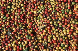 Closeup of coffee beans spread out to dry in the sun; on a small farm near Vinales; Cuba,