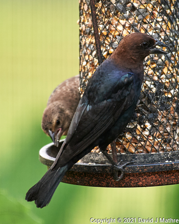 Brown-headed Cowbird. Image taken with a Nikon D5 camera and 200-500 mm f/5.6 VR lens.