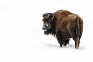 Wild American Bison surviving the harsh winter of Yellowstone