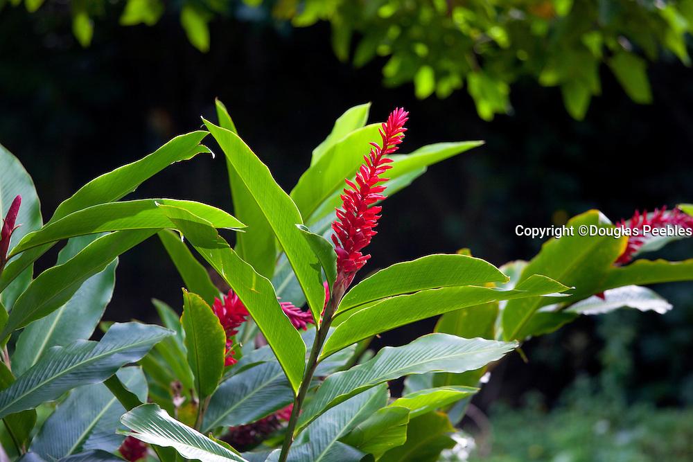 Red Ginger Flower, Fern Grotto, Wailua River, Kauai, Hawaii