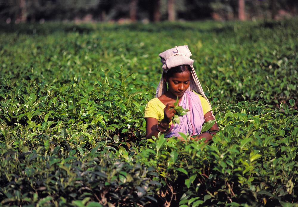 A woman picks tea leaves in a tea plantation near Darjeeling, India