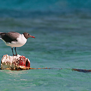 Laughing Gull balancing on a float in Turks & Caicos