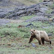 Barren Ground Grizzly Bear in Nunavut, Canada.
