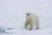 A male polar bear (Ursus maritimus) walking in a snowy white landscape, Svalbard, Norway, Arctic