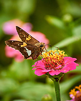 Silver-spotted Skipper Butterfly on a Zinnia Flower. Image taken with a Nikon 1 V3 camera and 70-300 mm lens
